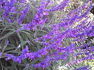 サルビア・レウカンサ(メキシカンブッシュセージ、アメジストセージ、ベルベットセージ)の紫色♪
