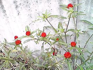 キバナセンニチコウ(黄花千日紅、ストロベリーフィールズ、ストロベリーフィールド)もずっと咲き続けて…