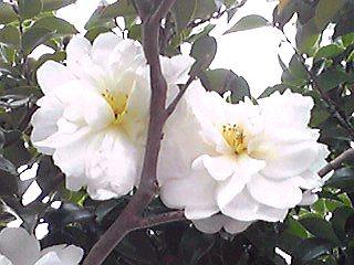 大好きな八重咲きで真っ白で大きなサザンカ(山茶花)が咲きはじめていました!