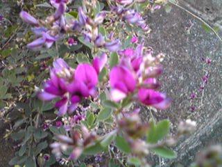 ちょっと遅くなってしまいましたがハギ(萩)の花です!