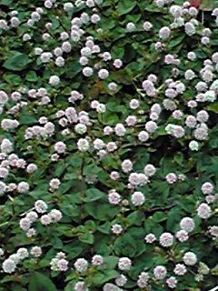 ヒメツルソバ(姫蔓蕎麦、ポリゴナム、カピタツム)は小さくても強い花!