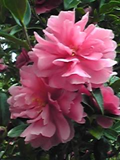 このピンク色の八重咲きサザンカが綺麗〜♪