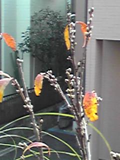 春に花咲く用意出来てます!(キクモモ)