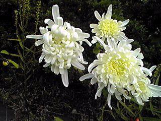 真っ白なキク(菊)の花