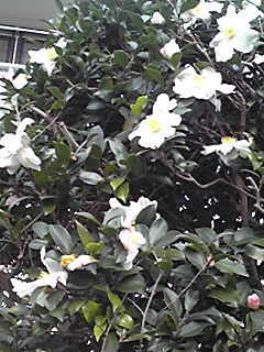 今日の雪を思い…このサザンカ(山茶花)の白