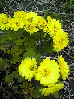 続けて菊の花を四種類♪