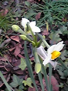 ニホンズイセン(日本水仙)が咲き始めていました!