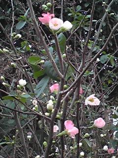 ボケ(木瓜)の可愛い花が咲き始めて来ました!