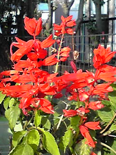 サルビア・スプレンデンス(緋衣草・ヒゴロモソウ)がまだ綺麗に咲いていました!