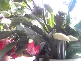 明るい窓辺でデンマークカクタス(かにしゃぼ)が咲き始めました!