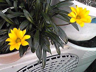 ガザニア(勲章菊)は2、3本位ずっと咲き続けているような気がします!