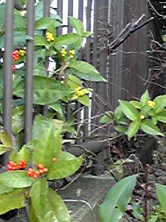 お正月の縁起物、センリョウ(千両)