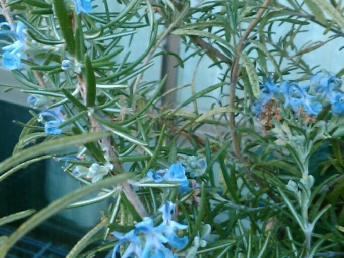 温室の中で咲き続けるローズマリーの花