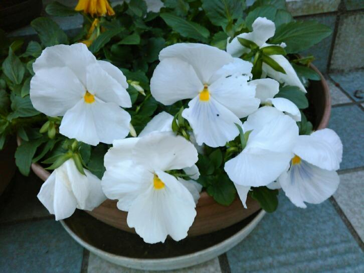 白い花だけ元気なのは何故?