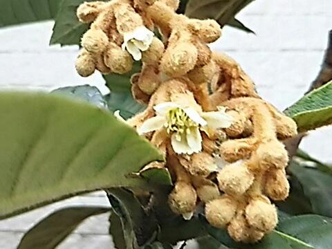 ビワ(枇杷)の花が咲き始めました❗