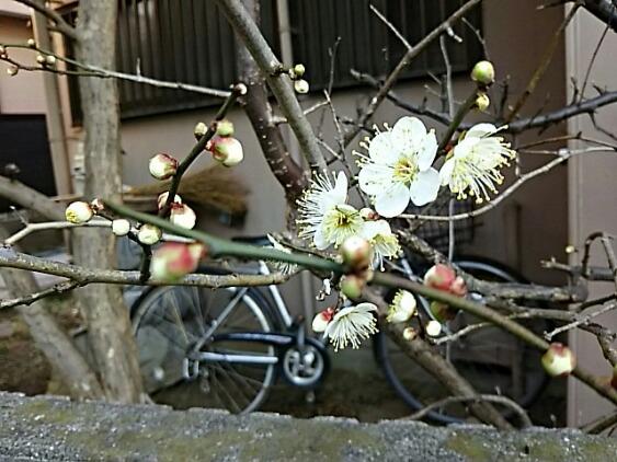 梅の花がちらほら咲き始めています