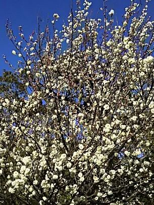 ぼたん苑を出た休憩所の横に咲いていた満開の梅の花!