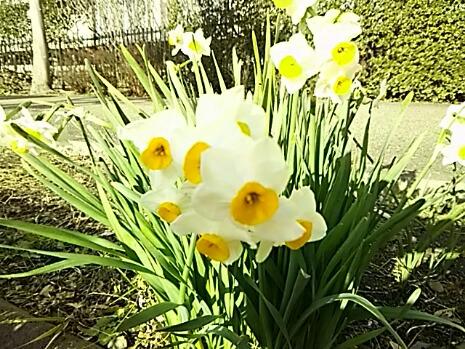 花とアタチ・・・(花は日本水仙、アタチ はミント姫)えへへ。