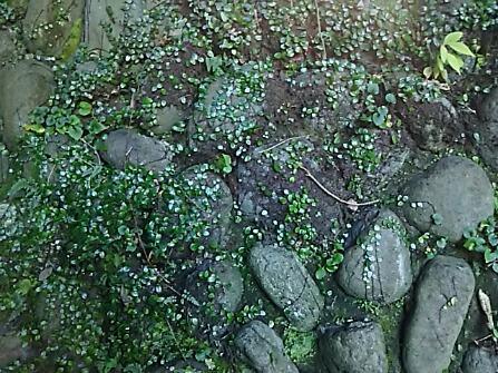 今年も大好きなマメヅタのある場所で一休み(鎌倉鶴岡八幡宮)
