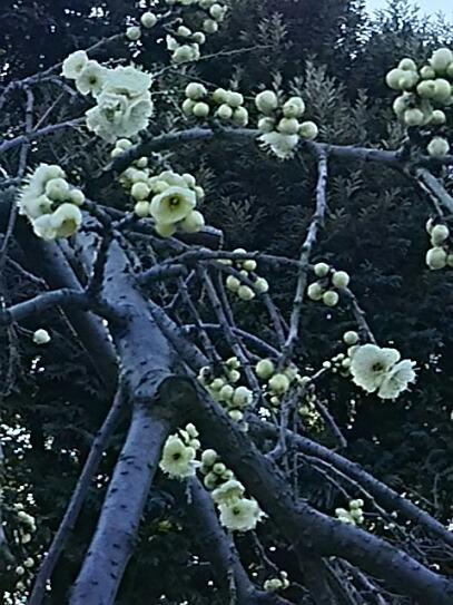 今朝は色々梅の花