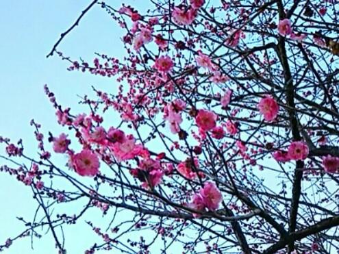散歩道の紅梅も一斉に咲き始めて来ています!