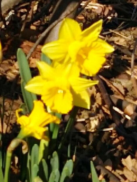黄色いラッパ水仙も咲き始めています!