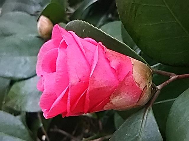 椿(つばき)の花は頬赤らめて下向く少女の姿に似たり。