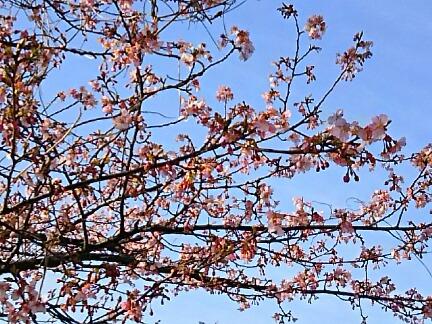河津桜が先出しました!