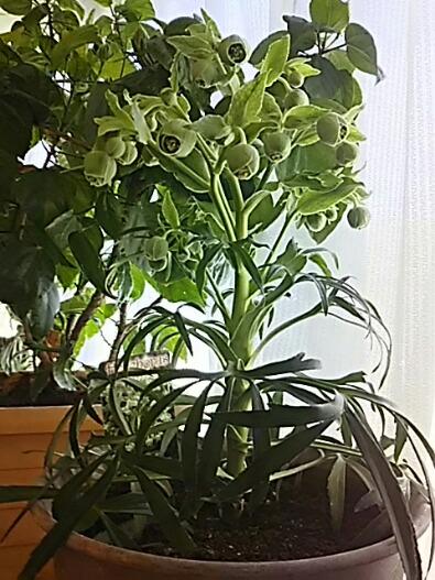 我が家のヘレボルス・フェチダス(クリスマスローズ)も咲き始めています!