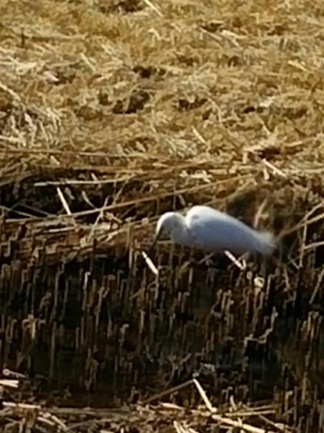 今日の直さん(高橋直純)と今朝見掛けた白鷺(シラサギ)さん!