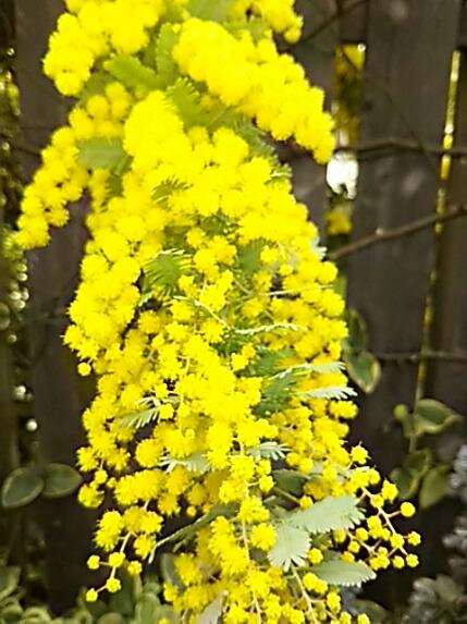 ギンヨウアカシア(ミモザ、ハナアカシア)の花はいつ見ても見事です!!