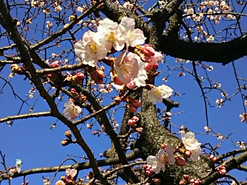 冬桜(フユザクラ)と共に直さん(高橋直純)のお知らせ続けます!