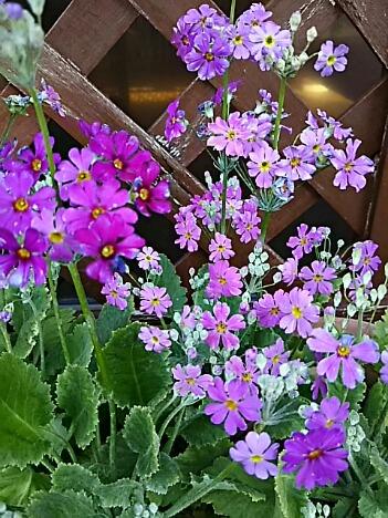 直さん(高橋直純)の今日これからのラジオ出演をお知らせしますね!&今夜のお花はプリムラです!