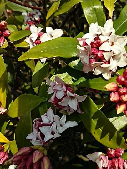 ジンチョウゲ(沈丁花)の花が開き始めて良い香りがしています!