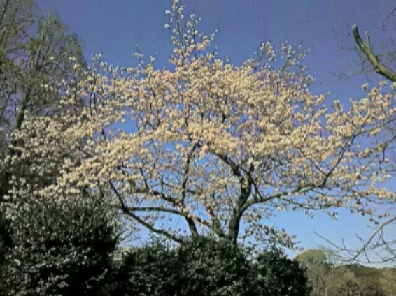 でわ2017年3月の直さん(高橋直純)参ります!(デビュー15周年の直祭り~♪)玉縄桜で華やかに‼