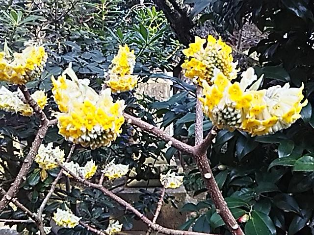 今朝のお花はミツマタ(三椏)そして今日の直さん(高橋直純)は「遥かなる時空の中で3Ultimate」イベントに出演です!