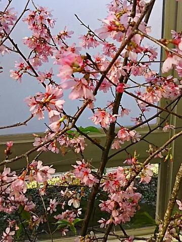 今日は直さん家のちょろちゃん誕生日♪なので、この可愛い「おかめ桜」でお祝いしましょ☆