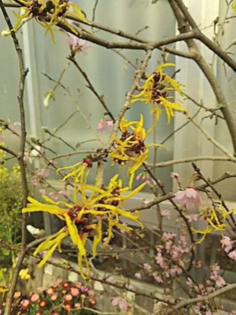マンサク(万作、満作)の花
