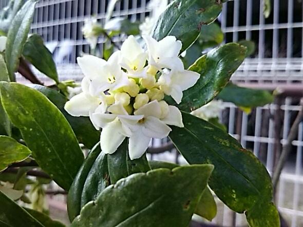 白い沈丁花(ジンチョウゲ)の蕾が今年も綺麗に咲き始めました!