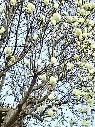 あっという間に咲き始めたハクモクレン(白木蓮)とコブシ(拳)の花たち