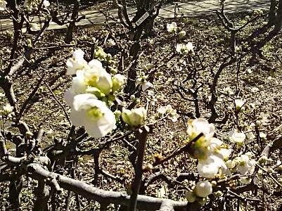 ボケ(木瓜)の花山色