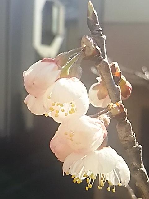 サクランボが成るサクラの蕾が開き始めてきましたよ!