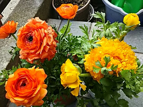 ラナンキュラス(花金鳳花、ハナキンポウゲ)の超八重咲き♪