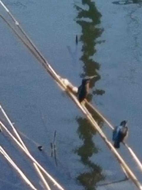 カワセミ(川蝉、翡翠、魚狗、他)がやっと携帯で撮れました‼