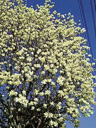 あまりに見事な咲きっぷりだから、ハクモクレン(白木蓮)再び?