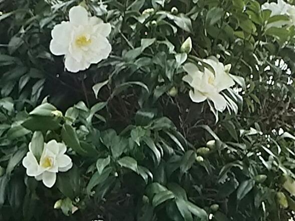 大きく真白きこのツバキ(椿)の花は今年も変わらずの輝き♪