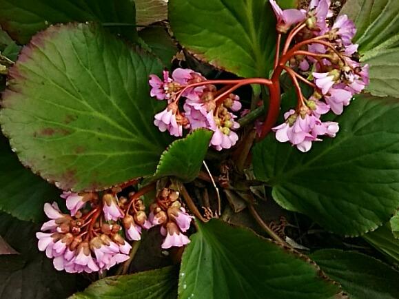ヒマラヤユキノシタ(ヒマラヤ雪の下)の花