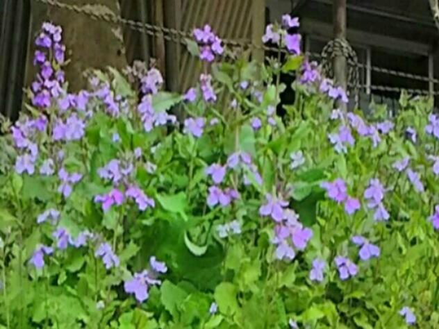 ムラサキハナナ(オオアラセイトウ、ハナダイコン、ショカッサイ)も今は野の花