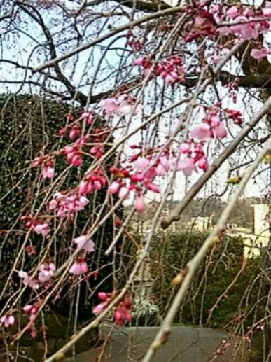 いつもの枝垂れ桜は今、咲き始めたばかりの姿
