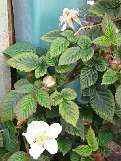 木いちご(クサイチゴ)の花